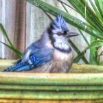 blue jay bird bath thumbnail_tonemapped