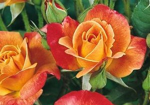 roses-joseph-coat