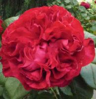 RoseCircle